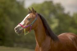 Joy Welsh Pony